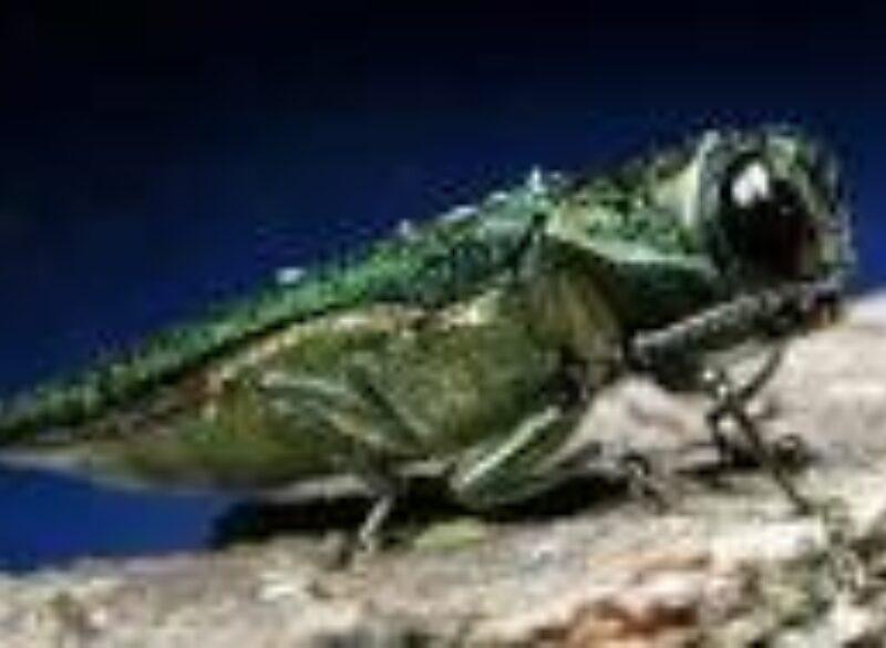 Emerald Ash Borer Setting Sights on East Texas