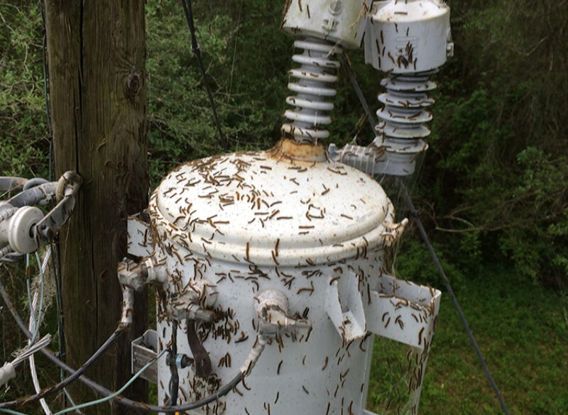 Tent Caterpillars Causing Area Power Outages